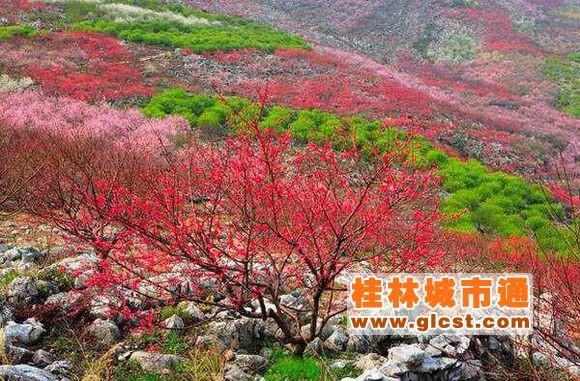 桂林恭城第十五届桃花节2月25日开幕